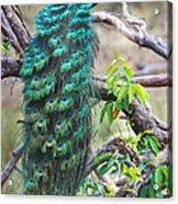 Peacock Perching On A Branch, Kanha Acrylic Print