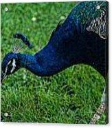 Peacock Portrait 4 Acrylic Print