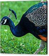 Peacock Portrait 5 Acrylic Print