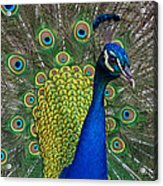 Peacock Portrait Acrylic Print