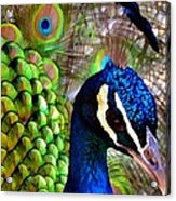 Peacock Pride Revisited Acrylic Print