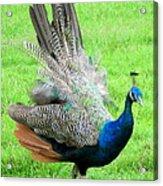 Peacock Ritual Acrylic Print