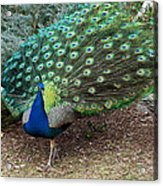 Peacock Strut Acrylic Print