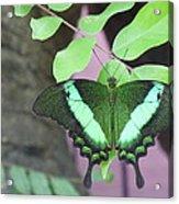 Peacock Swallowtail Acrylic Print