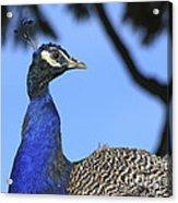 Indian Peacock Portrait Acrylic Print