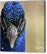 Peacock Up Close Acrylic Print