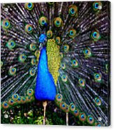 Peacock Wallpaper Acrylic Print