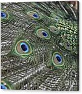 Peacock's Feathers Acrylic Print