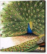Peacocks Acrylic Print