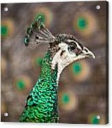 Peahen And Peacock Acrylic Print