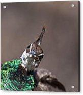 Peahen Takes A Selfie Acrylic Print