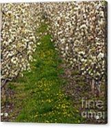 Pear Blossom Lane Acrylic Print