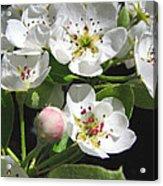 Pear Blossom Special Acrylic Print