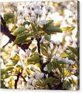Pear Blossoms Acrylic Print