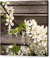 Pear Tree Blossoms Acrylic Print