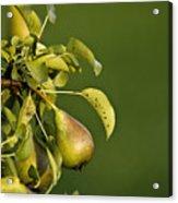 Pear Tree Acrylic Print