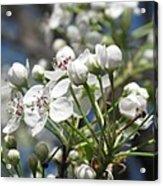 Pear Tree In Bloom Acrylic Print