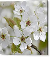 Pear Tree White Flower Blossoms Acrylic Print