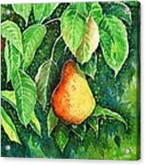Pear Acrylic Print by Zaira Dzhaubaeva