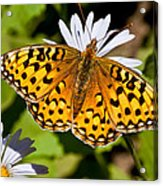Pearl Border Fritillary Butterfly On An Aster Bloom Acrylic Print