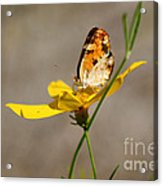 Pearl Crescent Butterfly On Coreopsis Acrylic Print