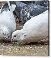 Pecking Pigeons Acrylic Print