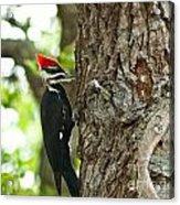 Pecking Woodpecker Acrylic Print