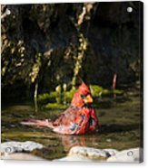 Pedernales Park Texas Bathing Cardinal Acrylic Print