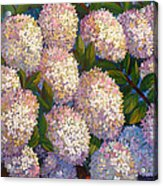 Peegee Hydrangeas Acrylic Print