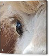 Peek A Boo Alpaca Acrylic Print