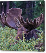 Peek-a-boo Moose Acrylic Print