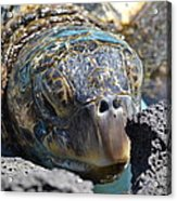 Peek-a-boo Turtle Acrylic Print