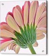 Peek A Pink Acrylic Print