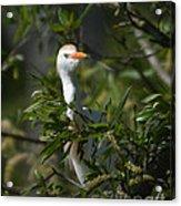 Peeking Cattle Egret Acrylic Print