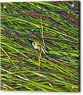 Peeking Crab Acrylic Print by Sarah Crites