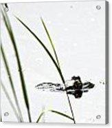 Peeking Frog Acrylic Print
