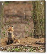 Peeking From The Fox Hole Acrylic Print