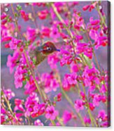 Peeking Through The Pink Penstemons Acrylic Print