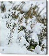 Peeking Through The Snow Acrylic Print