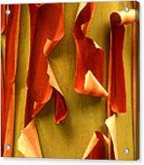 Peeling Bark Pacific Madrone Tree Washington Acrylic Print