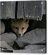 Peeping Fox Acrylic Print