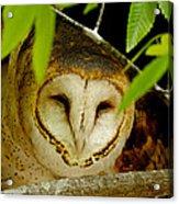 Peering Barn Owl Acrylic Print