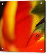 Peering Into The Heart Of A Tulip Acrylic Print