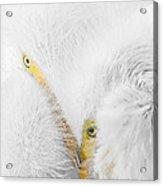 Peering Thru Feathers Acrylic Print