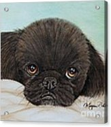 Buddy The Pekingese Acrylic Print
