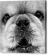 Pekingese Puppy Acrylic Print