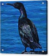 Pelagic Cormorant Acrylic Print by Crista Forest