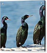 Pelagic Cormorants Acrylic Print
