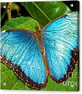 Peleides Blue Morpho Acrylic Print