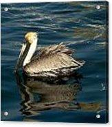 Pelican 02 Acrylic Print